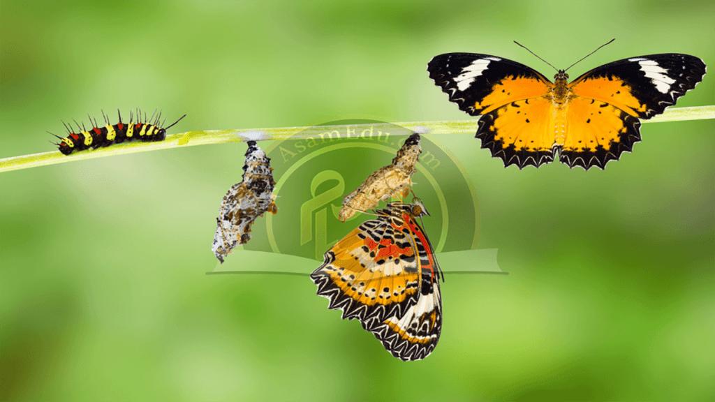 پروانه مونارک